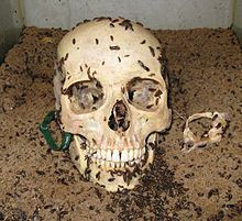 220px-Human_Skull_being_cleaning_by_Dermestid_Beetles