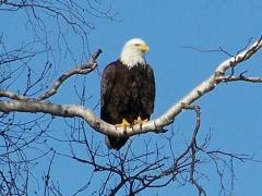 bald eagle(4)