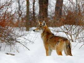 A red wolf awaiting reintroduction to the East Coast.