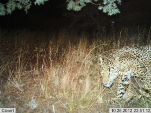 [Fish and Wildlife Service] A jaguar observed last October by a camera trap in southern Arizona.
