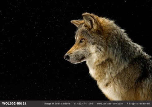Mexican Gray Wolf. Photo by Joel Sartore