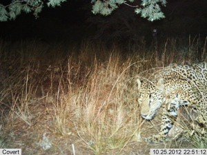 Automatic wildlife cameras snapped this photo of a male jaguar on a nightly walk in the Santa Rita Mountains on Oct 25, 2012.