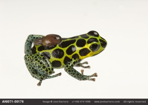 A male mimic poison frog (Ranitomeya imitator or Dendrobates imitator) with a single tadpole on his back.