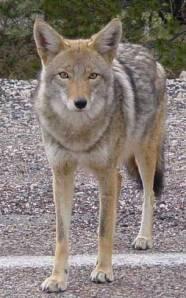 Coyote_roadside