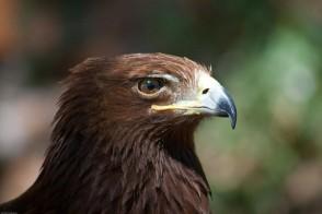 Golden eagle. Photo: Michael Privorotsky/Flickr/Creative Commons License