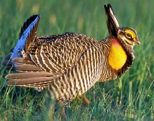 GreaterPrairie-Chicken