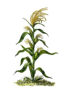 maize-or-indian-corn-plant