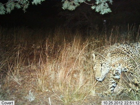 Automatic wildlife cameras snapped this photo of a male jaguar on a nightly walk in the Santa Rita Mountains on Oct 25, 2012 near Tucson, Arizona