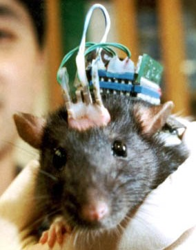 22164_rat_brain_implant