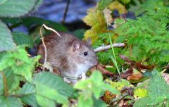 A brown rat. Photo by Brian Robert Marshall