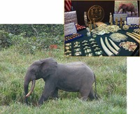 African forest elephants are targeted by hunters for the ivory in their tusks, used in various products in China.