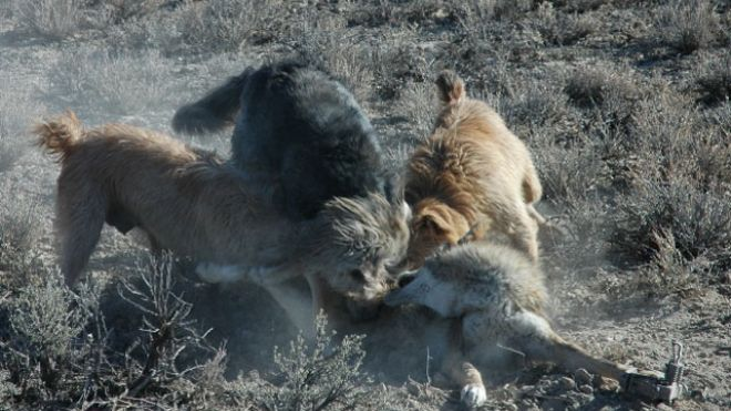 This photo, provided by Gary Strader, shows three dogs attacking a trapped coyote allegedly as part of his work for the USDA's Wildlife Services.