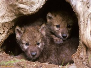 Gray-wolf-pups-at-mouth-of-den-1