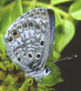 The Miami Blue butterfly, once common in the coastal areas of South Florida, is seen in Bahia Honda State Park on Bahia Honda Key, Fla., in May 2004. The Miami Blue Butterfly is not extinct but many believe it will be very soon.