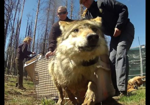 A female Mexican gray wolf is released inside a holding pen before eventual release to the wild near Corduroy Creek, south of Alpine, Ariz.(Photo: Michael Chow, The Arizona Republic)