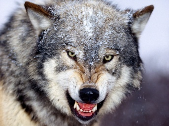 angry_wolf_wallpaper-1600x1200