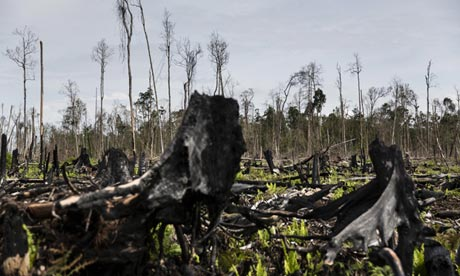 Burnt tree stumps in a cleared Sumatran forest. Photograph: Kemal Jufri / Greenpeace