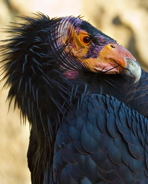 California-Condor_Wikipedia