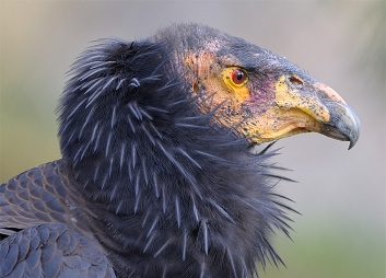gallery_california_condor_profile