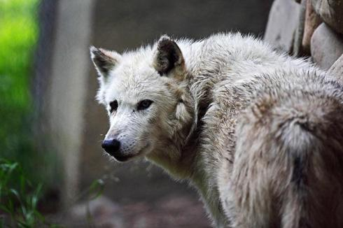 The court's logic would seem to mean that nobody can have standing to challenge the wolf hunt in court, for any reason whatsoever. (photo: CC/Flickr/Todd Ryburn)