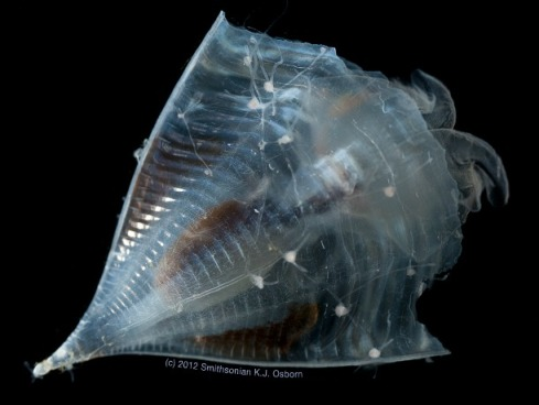 The shell of Clio recurva is a perfect landing strip for a colony of hydroids. Photo: © Karen Osborn