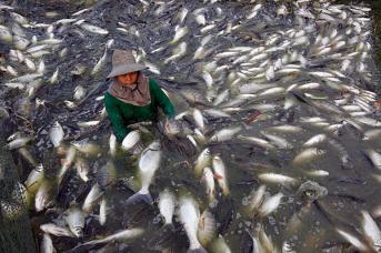 A Thai fisherman catches freshwater white tilapia fish at a fish farm in Samut Prakarn province, June 2012. Sukree Sukplang/Reuters/File