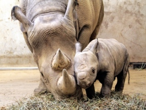 western-black-rhino-with-calf