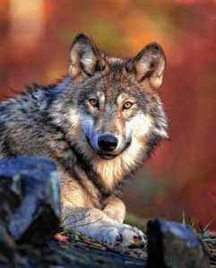 This 2008 photo released by the U.S. Fish and Wildlife Service shows a gray wolf. The Obama administration on Friday, June 7, 2013 proposed lifting most of the remaining federal protections for gray wolves across the mainland states, a move that would end four decades of recovery efforts but has been criticized by some scientists as premature. Photo courtesy of USFWS