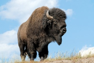 American_bison1