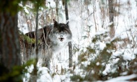 "Wolves are depicted as ""mean, ferocious animals and they can tear a man apart real easy"" on TV, despite evidence to the contrary. Photograph: Alamy"