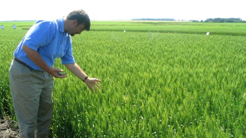 Michael Doane, Monsanto's wheat industry affairs director, looks at growth in a wheat field in an undisclosed location in North Dakota in this undated file photo. (Reuters)