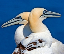 Northern Gannets are one of the birds that are killed in large numbers by gillnets. Photo by Alan Wilson.