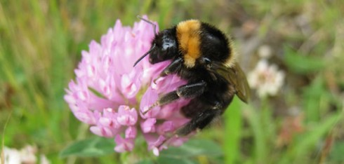 Short-haired bee. Photo by Nikki Gammans, courtesy RSPB
