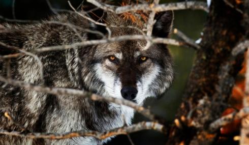 gray wolf, Yellowstone, Wyoming