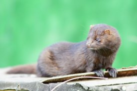 The American Mink is native to the Idaho region, and can survive in the wild after release from captivity