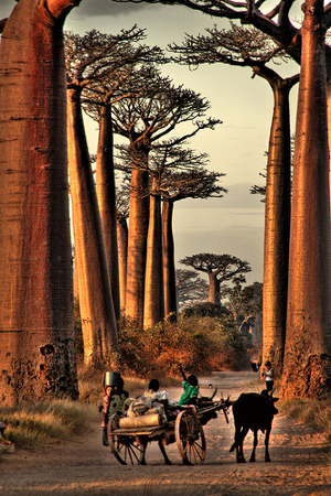 The famous Avenue du Baobab by Alessandro Casagrande