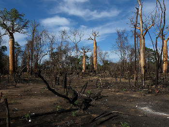 Baobab trees heavily damaged by slash-and-burn agriculture by Frank Vassen.