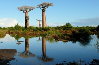 Photo: Baobab trees over water by Rita Willaert.