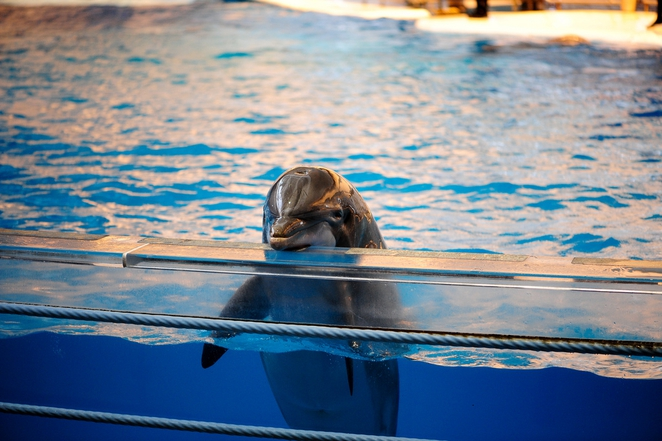 India Bans Captive Dolphin Shows, Says Dolphins Should Be Seen as 'Non-Human Persons' Captive_dolphin-662x0_q100_crop-scale