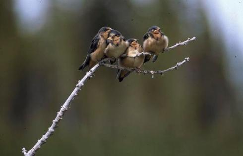 Barn Swallows on a limb
