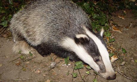 badger-009