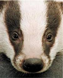 badgerface